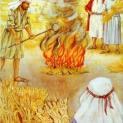 23/07 Dụ ngôn cỏ lùng trong ruộng lúa